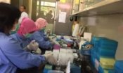 Testing for Avian Influenza at Disease Investigation Center in Wates, Indonesia